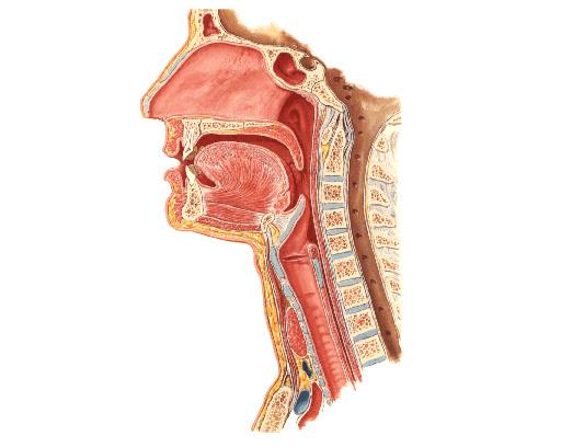 Anatomie du cou